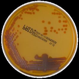 chromID® P.aeruginosa